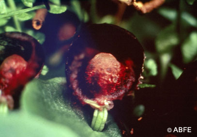 Photo of Red Helmet Orchid