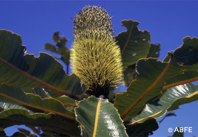 Photo of Banksia Robur